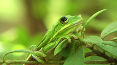 American Tree Frog Stock Footage