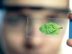 Female scientist looking at plant leaf in glass slide NTSC Stock Footage