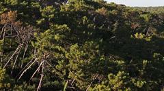 Landes forest establishing shot, France - pan  Stock Footage
