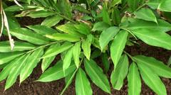 Turmeric plant Stock Footage