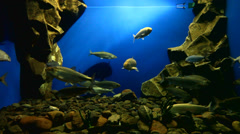 Fish of the Baikal Omul is swimming in an aquarium Stock Footage