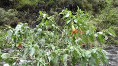 Red Datura (Brugmansia sanguinea) Stock Footage