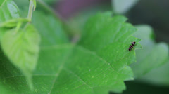 Ants on the leaves Stock Footage