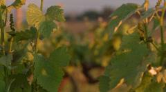 CU Vine leaves Stock Footage