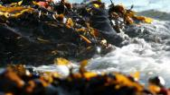 Stock Video Footage of Iceland. Floating seaweed extreme closeup