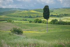 Solitary cypress tree in tuscan landscape Stock Photos
