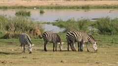 Plains Zebras grazing, Amboseli National Park, Kenya Stock Footage