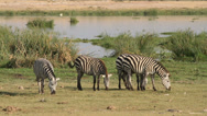 Stock Video Footage of Plains Zebras grazing