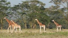 Rothschilds giraffes Stock Footage
