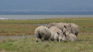 Stock Video Footage of White rhinoceros feeding
