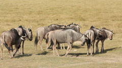 White-bearded wildebeest Stock Footage
