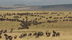 Wildebeest migration, wildlife safari, Masai Mara National Reserve, Kenya Stock Footage