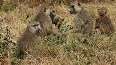 Yellow baboon family Stock Footage