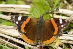 The red admiral Stock Photos