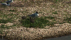 Black headed gull and chicks Stock Footage