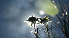 Short contre jour footage of Edelweiss Stock Footage