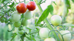 Hands picking small best red tomatoes in sunset Stock Footage