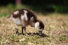 chick of an egyptian goose (alopochen aegyptiacus) - stock photo