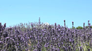 Stock Video Footage of Lavender-2