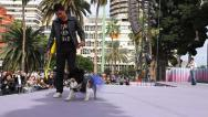 Stock Video Footage of Catwalk for dogs contest in Las Palmas de Gran Canaria