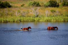 Two wild horses in bay water - stock photo