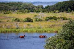Stock Photo of wild horses swim in bay water