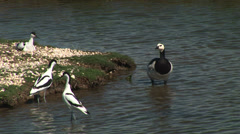 Avocet and barnacle goose Stock Footage