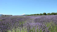 Stock Video Footage of Lavender-5