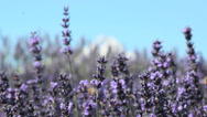 Stock Video Footage of Lavender-1