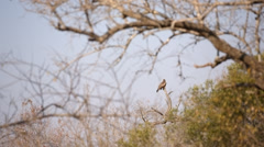 Yellow-billed Kite Stock Footage
