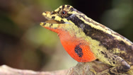 Stock Video Footage of  Lyre Anole (Anolis lyra)