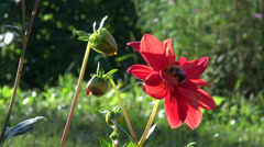 Stock Video Footage of bumblebee  - nectar picker on red  dahlia