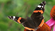 Stock Video Footage of Red Admiral (Vanessa Atalanta) butterfly feeds on nectar purple coneflower