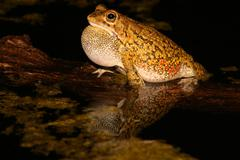 Olive toad calling Stock Photos