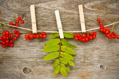 Red rowan  hanging on the clothesline Stock Photos
