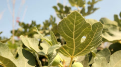 fig tree - stock footage