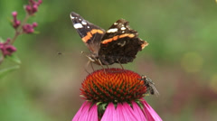 Red Admiral (Vanessa Atalanta) perhonen ruokkii nektaria auringonhattu purpurea Arkistovideo