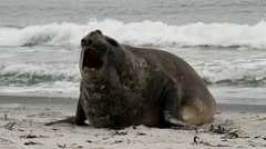 Southern Elephant Seal is crying around Stock Footage