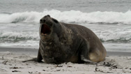 Stock Video Footage of Southern Elephant Seal is crying around