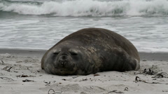 Southern Elephant Seal is resting Stock Footage