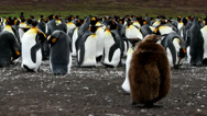 Stock Video Footage of King Penguin colony with chick