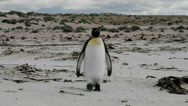 Stock Video Footage of Lonely King Penguin on the beach