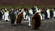 Stock Video Footage of King Penguin colony with chicks