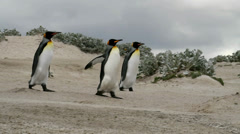 King Penguins walking around Stock Footage