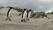 Stock Video Footage of King Penguins walking around