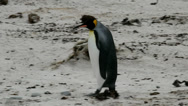 Stock Video Footage of King Penguin is walking around