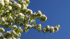 Blossom branch Stock Footage