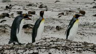 Stock Video Footage of King Penguins walking in a row