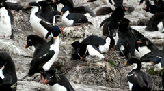 King cormorant is nesting in Penguin colony Stock Footage