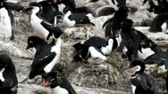Stock Video Footage of King cormorant is nesting in Penguin colony